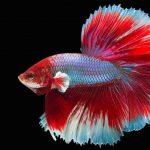 Average Life Span of Betta Fish
