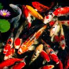 What Is The Best Food For Koi?