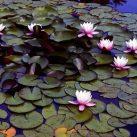 Best Pond Plants For Algae Control