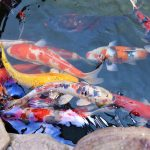Can Koi Fish Survive Winter in Outdoor Pond?