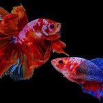 How To Mate Betta Fish?