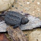 What Does A Baby Snapping Turtle Eat?