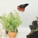 What Fish Can Live with Bettas?
